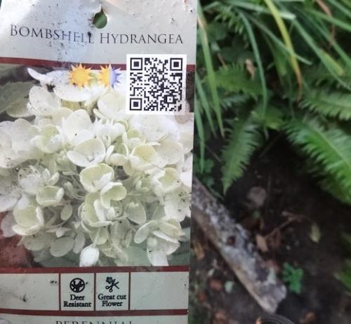 Hydrangea 'Bombshell' from Blooming Nursery