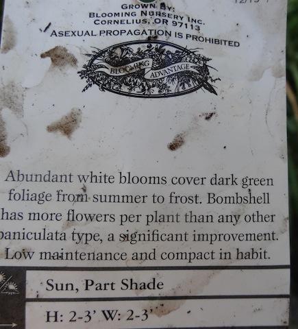 Hydrangea 'Bombshell'