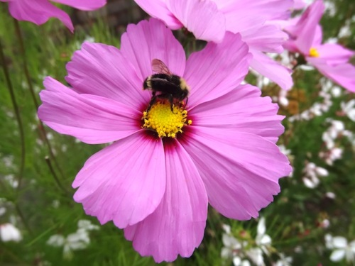 bees and cosmos