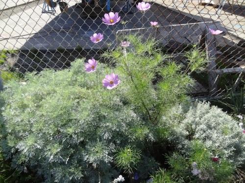 Artemisia 'Powis Castle', cosmos, santolina