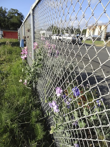 sweet peas as I water along the inside of the fence