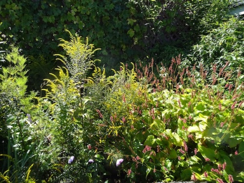 Solidago 'Fireworks' and Persicaria 'Firetail'