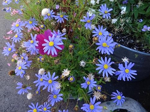 I love the blue felicia daisy...what a do-er.