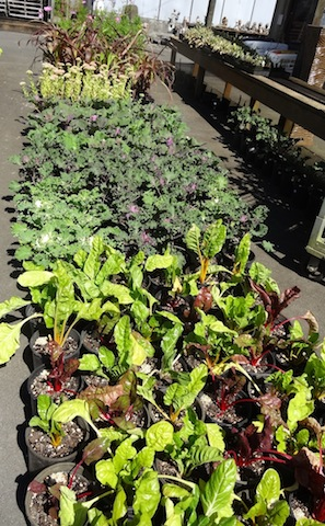 chard and kale at The Planter Box