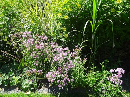by the front lawn: wild, running pink phlox that the deer do not eat