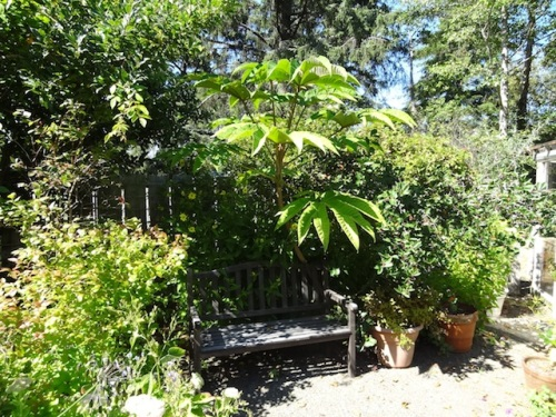 sit spot with Tetrapanax 'Steroidal Giant'