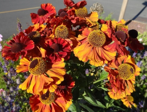 a stunning 'red' helenium