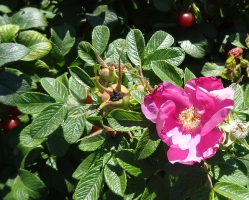 rugosa rose flower and hips