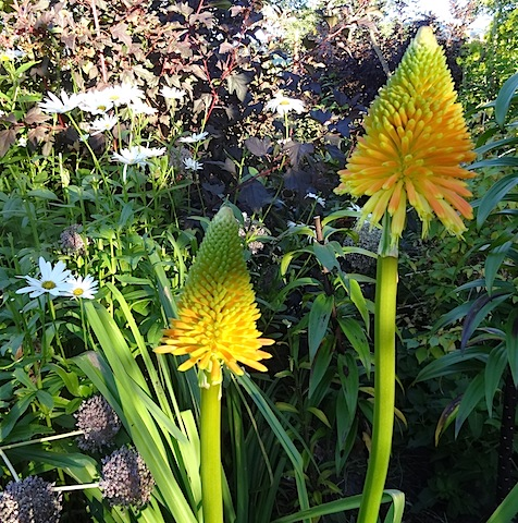 Kniphofia 'Earliest of All' (from Todd)
