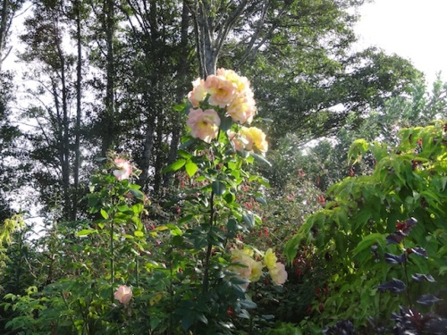rose in evening light