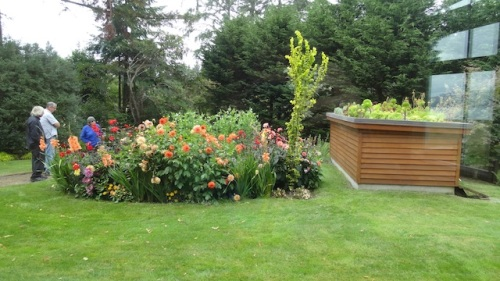 dahlia bed and green roof from north window