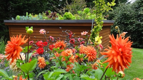 dahlias and the green roof