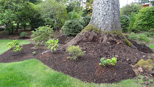 An area recently freed from salal, with much effort.