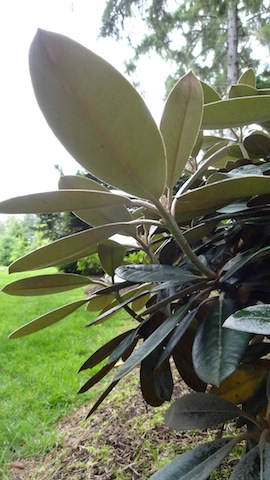 the admiration of rhododendron leaves.