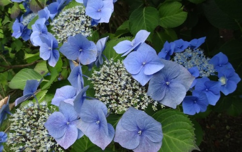 vivid blue lacecap hydrangea