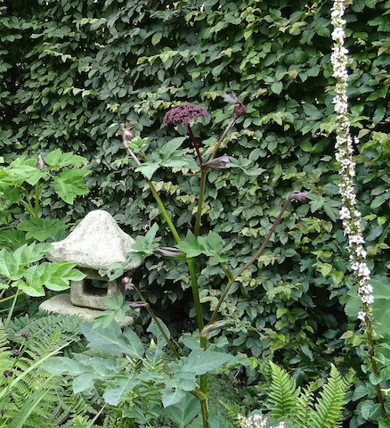 angelica and a white verbascum against the hornbeam hedge