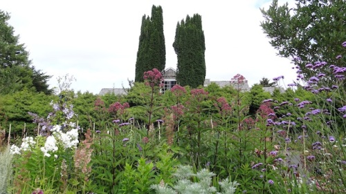 statuesque eupatorium (Joe Pye Weed)