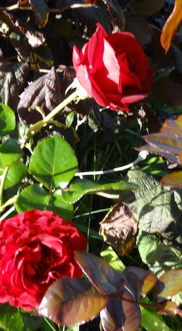 two roses on a bush that Jo Fitzsimmons gave me.