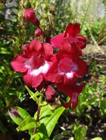 and this penstemon