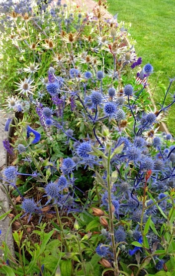Eryngiums in flag pavilion garden (Allan's photo)