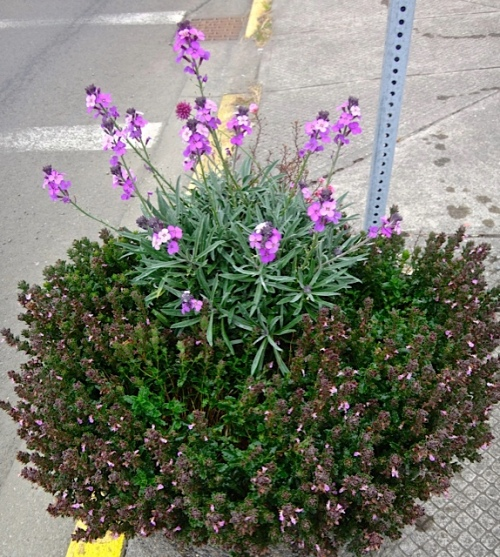 planter with Erysimum 'Bowles Mauve' and teucrium (Allan's photo)