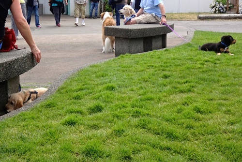 lots of dogs in Fifth Street Park (Allan's photo)