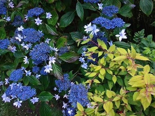 Hydrangea 'Izu No Hana' (Allan's photo)