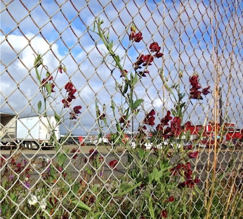 his photo of sweet peas while filling the water trailer at the boatyard