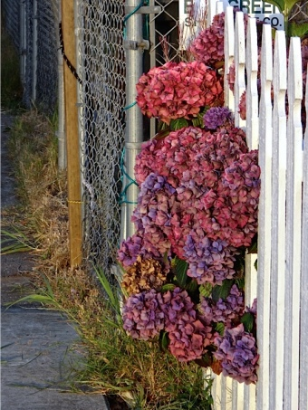 hydrangeas and picket fence