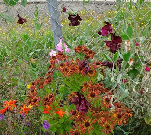 sweet peas and heleniums (Allan's photo)
