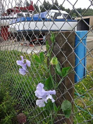 more sweet peas (Allan's photo)