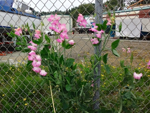 sweet pea success (Allan's photo)