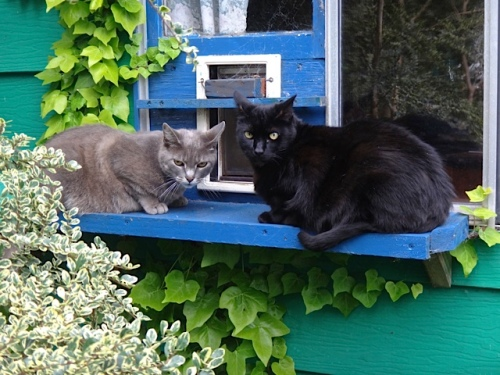 Smokey and Calvin understand the cat door. (Allan's photo)