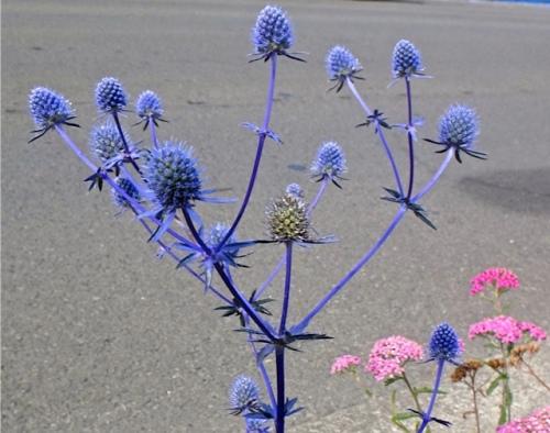 Eryngium, new growth (Allan's photo)