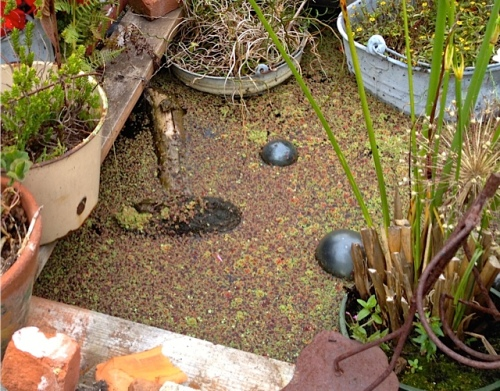 I was pleased one frog was sunning in the water boxes. (Allan's photo)