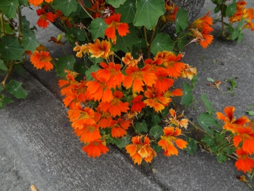 These feathery nasturtiums are new this year, and I can't remember their name. Fabulous.