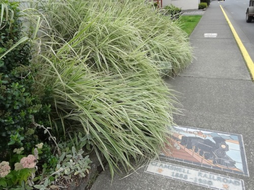 Here was a satisfactory project to tackle. Miscanthus variegatus flopping on the sidewalk.