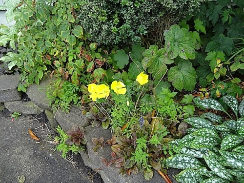 north side: late blooming Welsh poppy