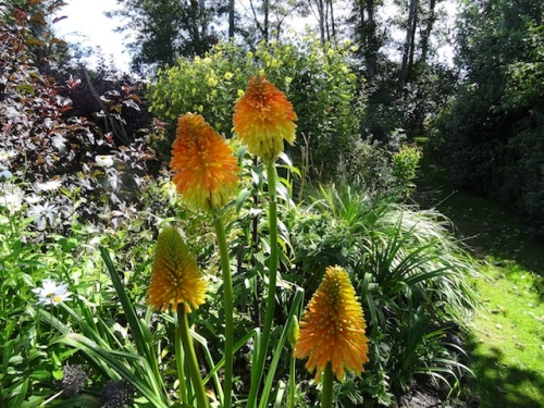 Kniphofia 'Earliest of All'