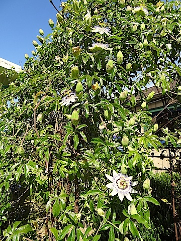 Vigorous passiflora