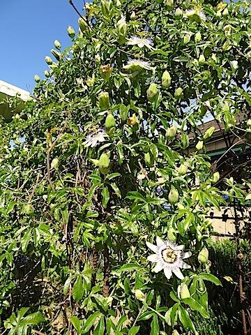 Vigorous passiflora