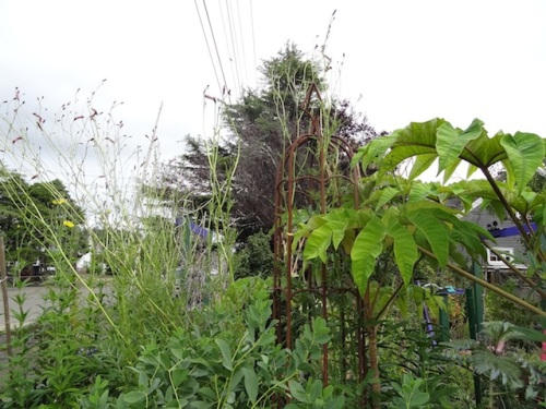 enormously tall Sanguisorba, probably 'Pink Elephant'