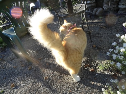 showing off his glorious tail