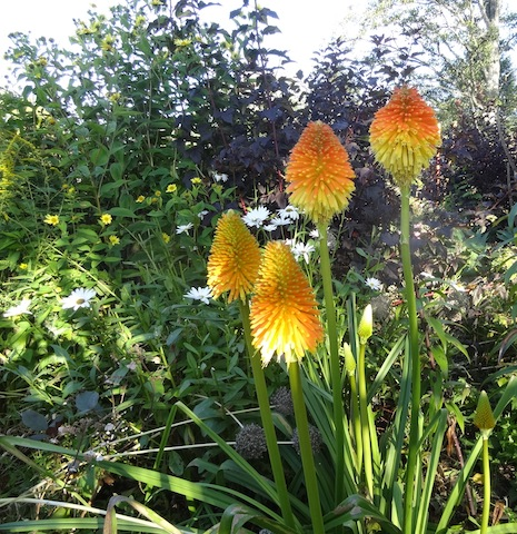 Kniphofia 'Earliest of All' (not early at all)