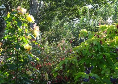 tall rose, fuchsia, leycesteria