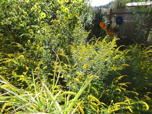 The garden has turned to gold. (Helianthus 'Lemon Queen', Solidago 'Fireworks')