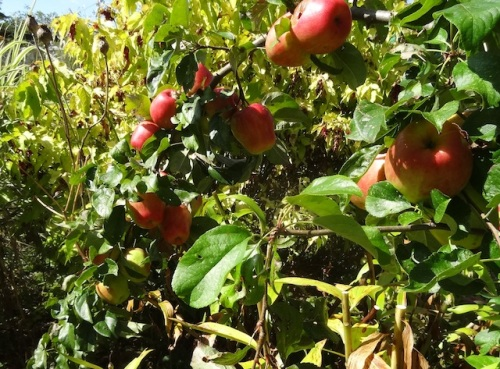 heavily weighted branch on Cripps Pink