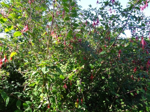 Fuchsia magellanica. This bed started with ONE red one.
