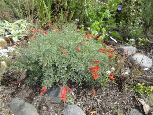 Zauschneria californica 'Sidewinder' in the front, dry garden.