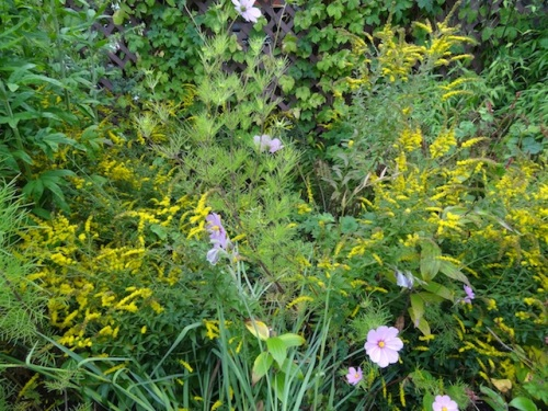 All the rain made the Solidago 'Fireworks' splay open, revealed creeping buttercup and bindweed hidden within.